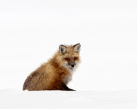 Yellowstone Fox