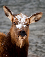 ElK Portrait in the Snow