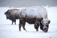 Bison in the Snow #2