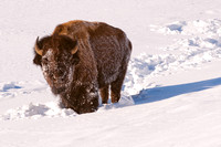 Bison in the Snow