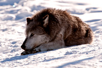 Wolf in Repose